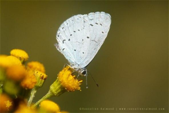 Holly Blue Celastrina Argiolus Boomblauwtje