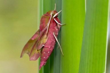 Elephant Hawk-moth Deilephila elpenor Groot Avondrood