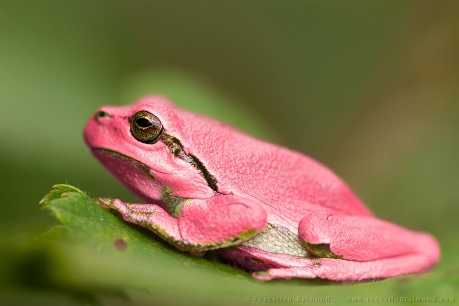 pink erythrism grasshopper insect rare  frog