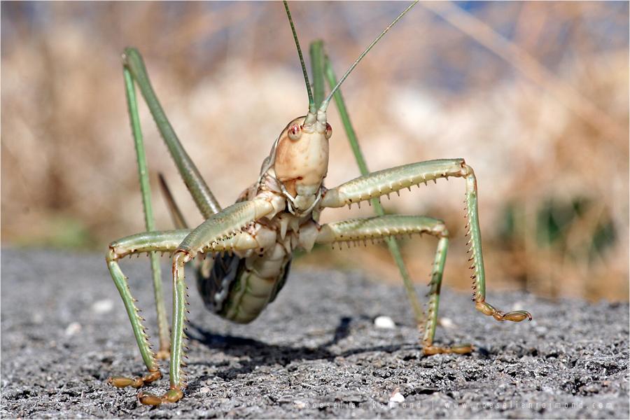 Predatory Bush Cricket Saga Hellenica rare red list IUCN Tettigoniidae