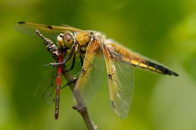 Dragonfly eating damselfly Libel eet waterjuffer