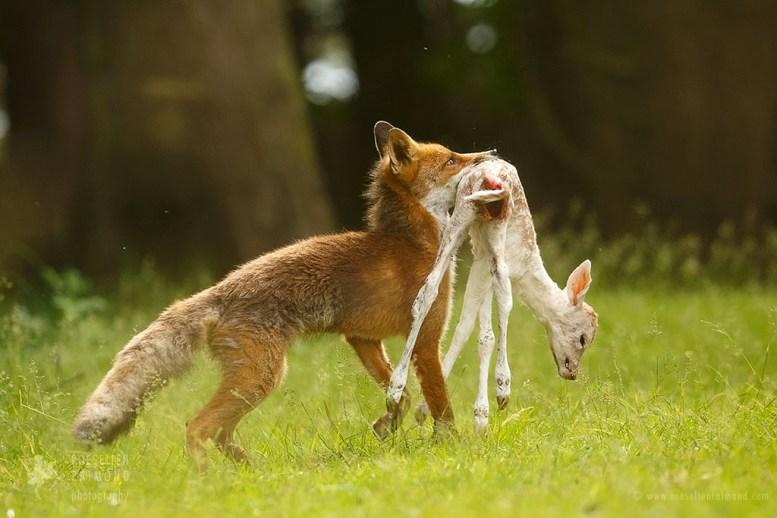 Red fox with deer prey