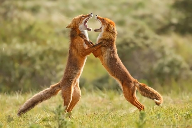 Red Foxes (Vulpes vulpes) fighting agressively, standing on hind legs with open mouths