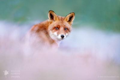 fox soft bokeh animal wildlife fineart