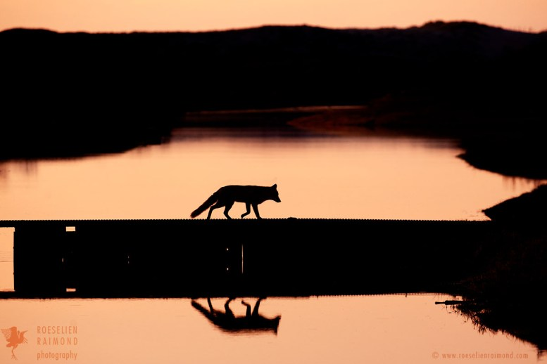 red fox silhouette sunset