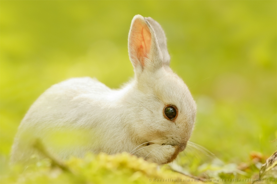 33 Chasing White Rabbits Roeselien Raimond Nature Photography