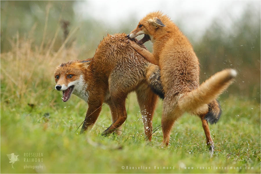 Juveniles foxes fighting in the rain