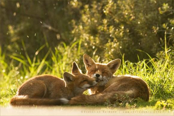 Mother fox and het fox kit grooming in the rain
