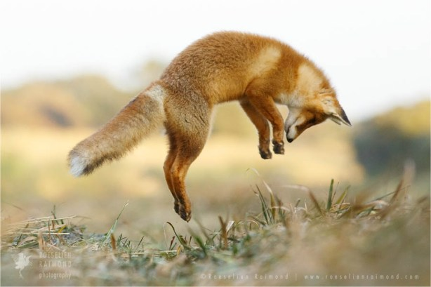 Juvenile red fox leaping
