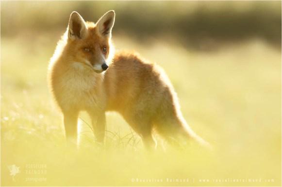 fox_light