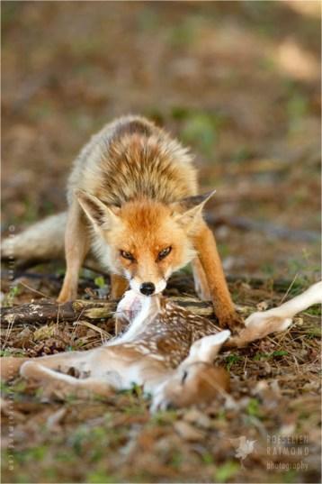 red Fox devouring a prey