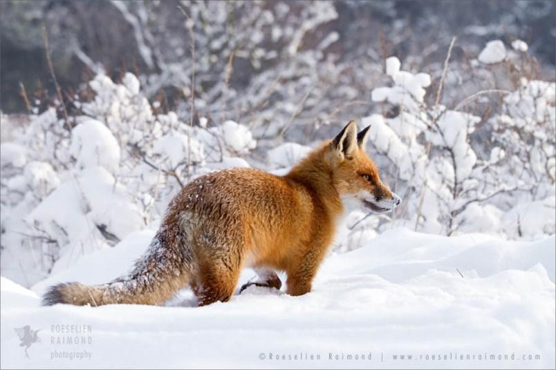 red fox in a winter scene