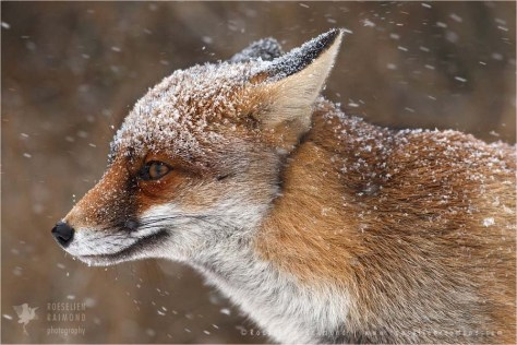 Portrait of a red fox in a snow shower