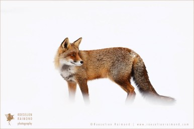 red fox vulpes winter snow ice cold white