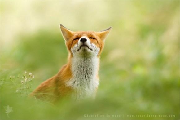 Zen fox series: a relaxing red fox