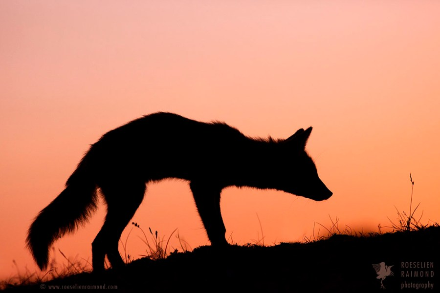 ninja silhouette red fox - photo #8