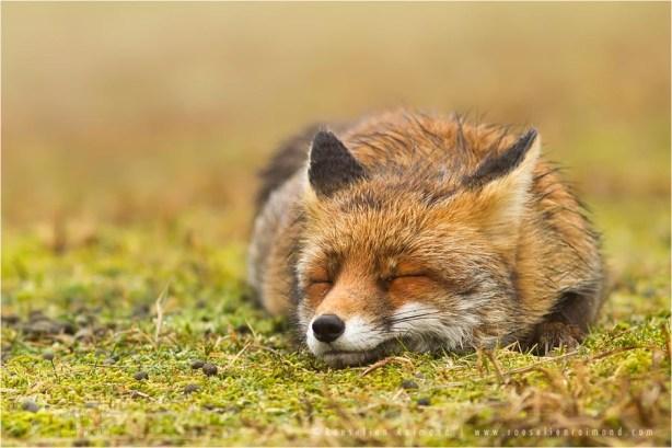 Zen foxes: red fox sleeping on the moss