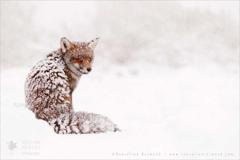 Red fox, it's fur totally covered with snow on a cold winter day