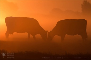 Cow silhouettes at sunrise