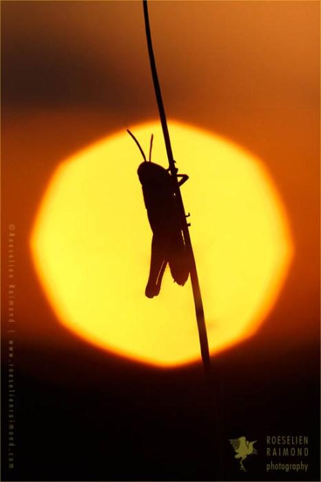 Grasshopper silhouette at sundown