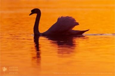 Mute swan silhouette
