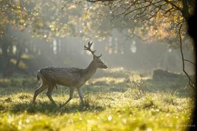_X1B1452_deer_forest