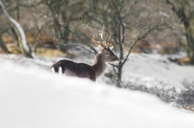 Fallow Deer in the Winter