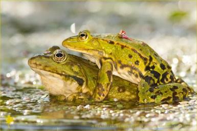Pool Frog Pelophylax lessonae amphibians