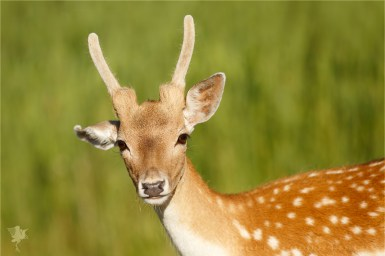 Portrait of a young Fallow Deer (Dama dama) buck, looking at the camrea