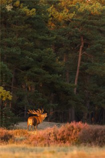 Red Deer Male at Sunset