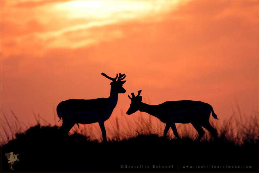 wildlife Fallow Deer Silhouette dama dama sundowo sunset