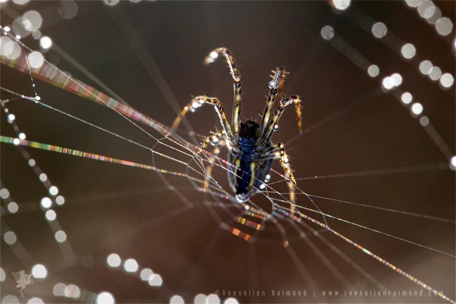 spider_dew
