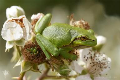 Hyla arborea tree frog amphibian flower