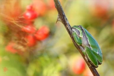 Hyla arborea tree frog amphibian berries rosehip