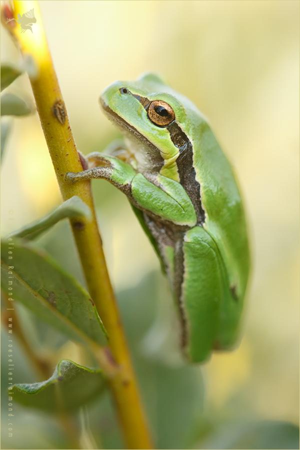 Hyla arborea tree frog amphibian