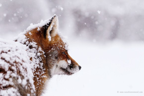 Red Fox Portrait in the Snow