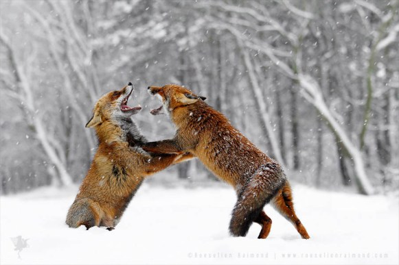 Red Foxes Fighting in the Snow
