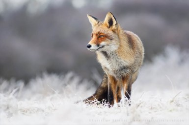 Red Fox in a white, rime covered environment fox photo art