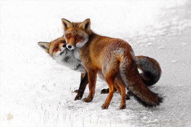 red fox vulpes winter snow ice cold white happy zen