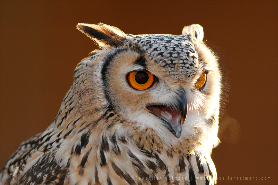 Aninimal Book: Species: Eurasian eagle-owl (Bubo bubo) | Roeselien ...