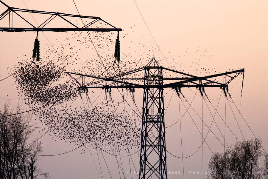 Flock of  Common starlings (Sturnus vulgaris) swarming