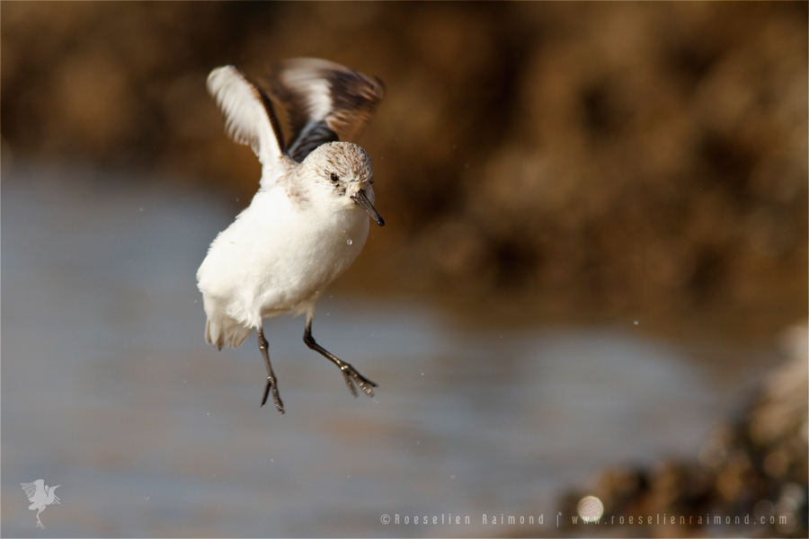Sanderling Calidris alba sea sunset flying jumping
