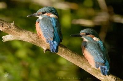 Common Kingfisher Alcedo atthis IJsvogel young nestling baby
