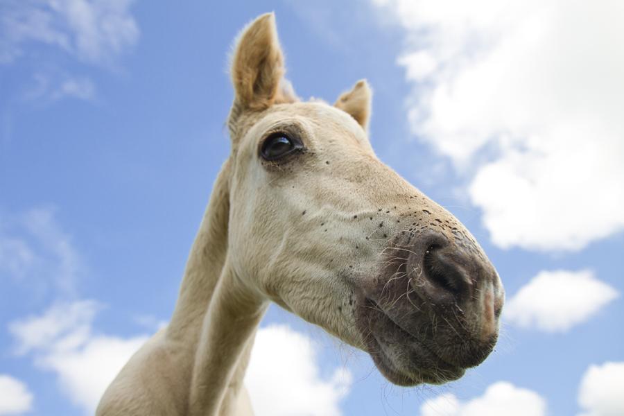 Konik horse Equus caballus portrait