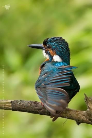 Common Kingfisher Alcedo atthis IJsvogel plumage