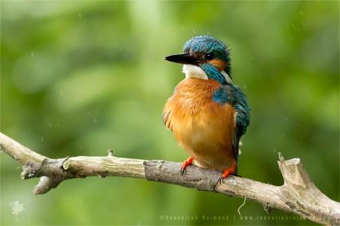 Common Kingfisher Alcedo atthis IJsvogel