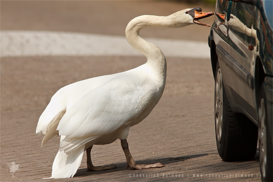 Mute Swan Cygnus olor male angry car beak aggressive attack