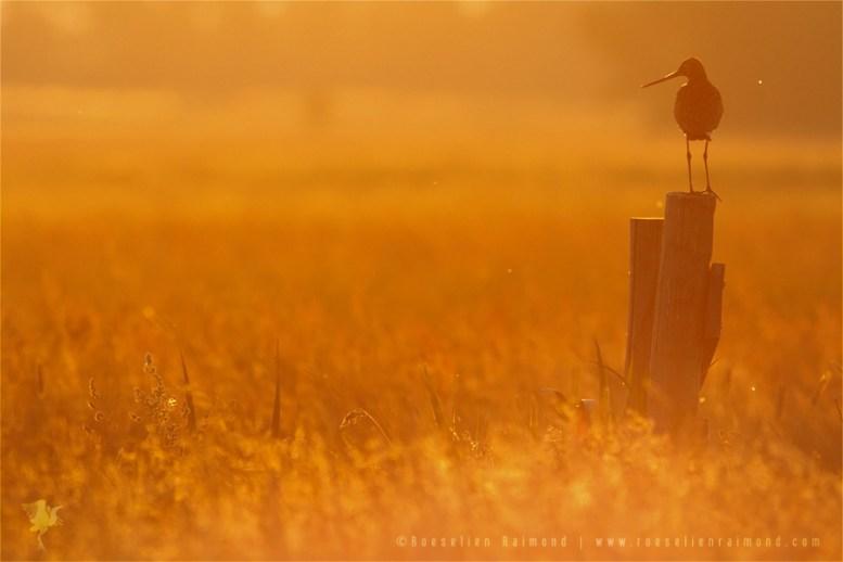 Black-tailed Godwit limosa limosa bird