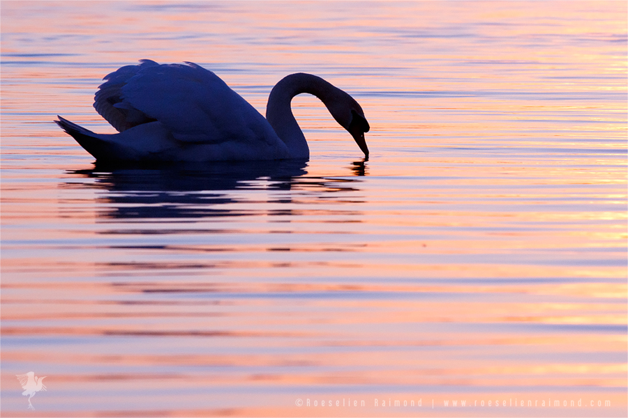 Mute Swan Cygnus olor male showing off sunset pink water silhouette