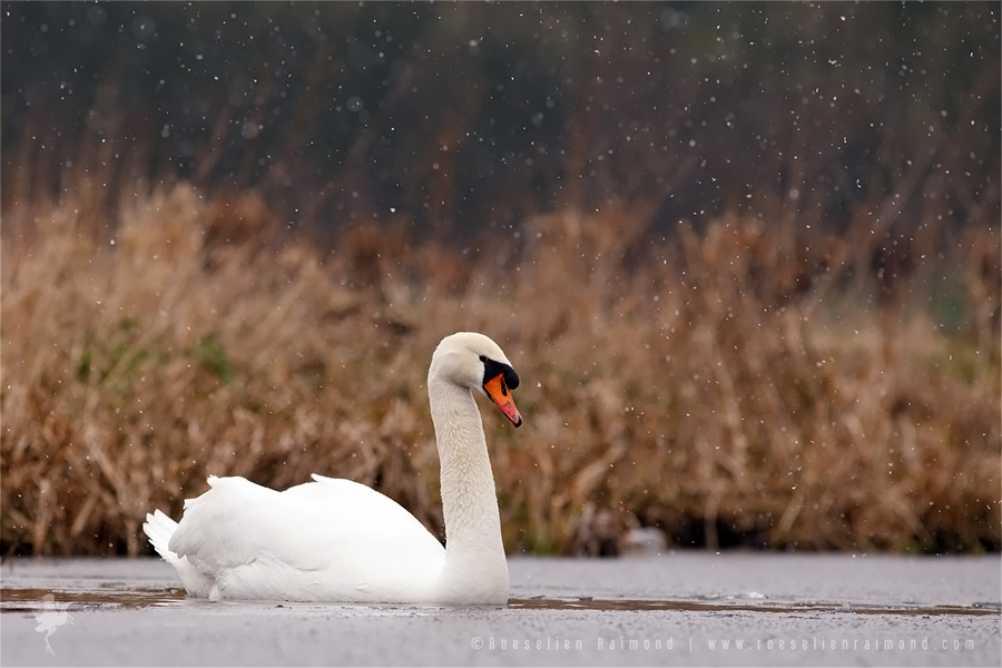 Mute Swan Cygnus olor winter snowing